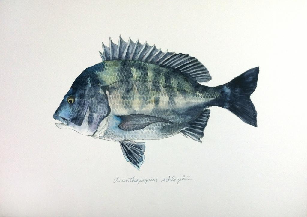 クロダイ Acanthopagrus schlegelii