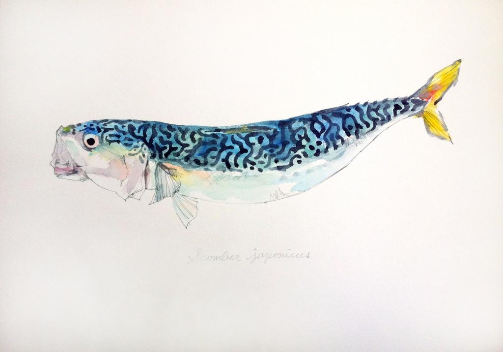 マサバ Scomber japonicus