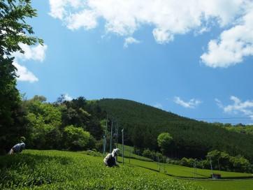 コピー ~ お茶畑 090