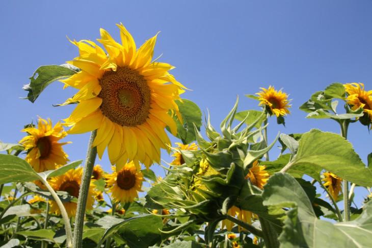1 Floarea soarelui