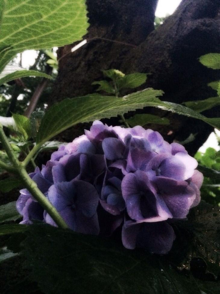 雨煙る紫陽花