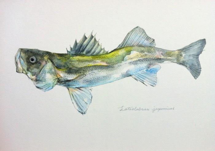 スズキ Lateolabrax japonicus