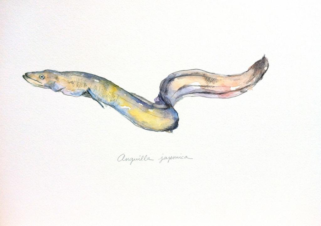ウナギ Anguilla japonica