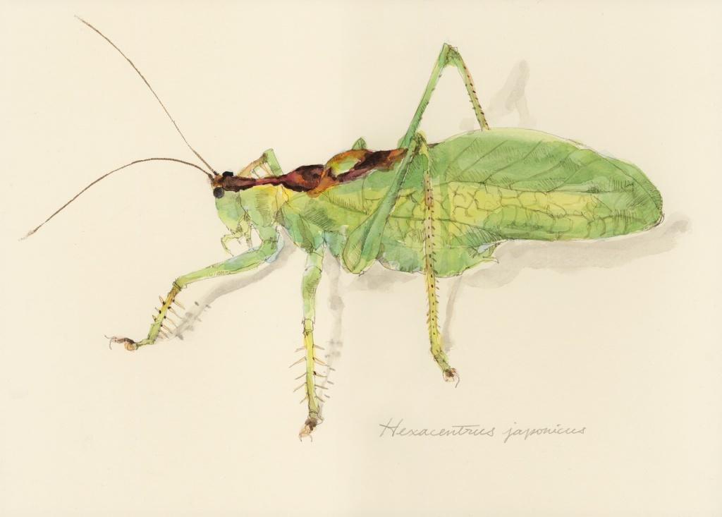 虫の譜|ウマオイ(ハヤシノウマオイ) Hexacentrus japonicus