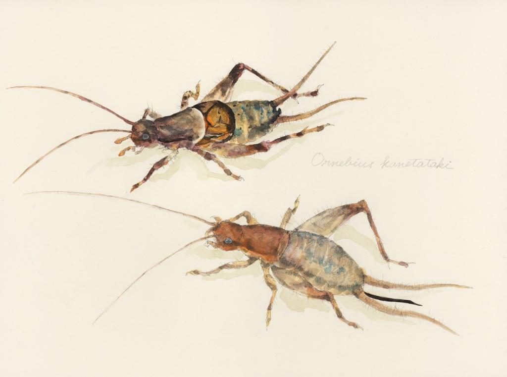 虫の譜|カネタタキ Ornebius kanetataki