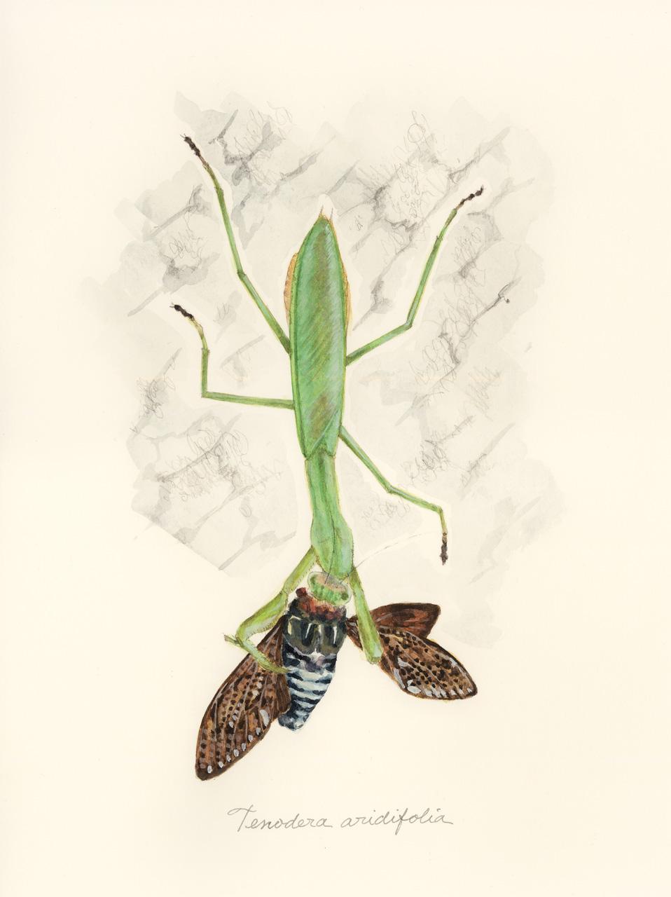 オオカマキリ Tenodera aridifolia