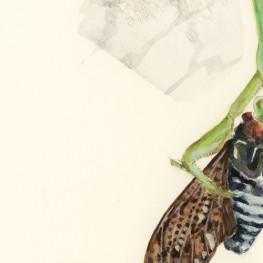 虫の譜|オオカマキリ Tenodera aridifolia