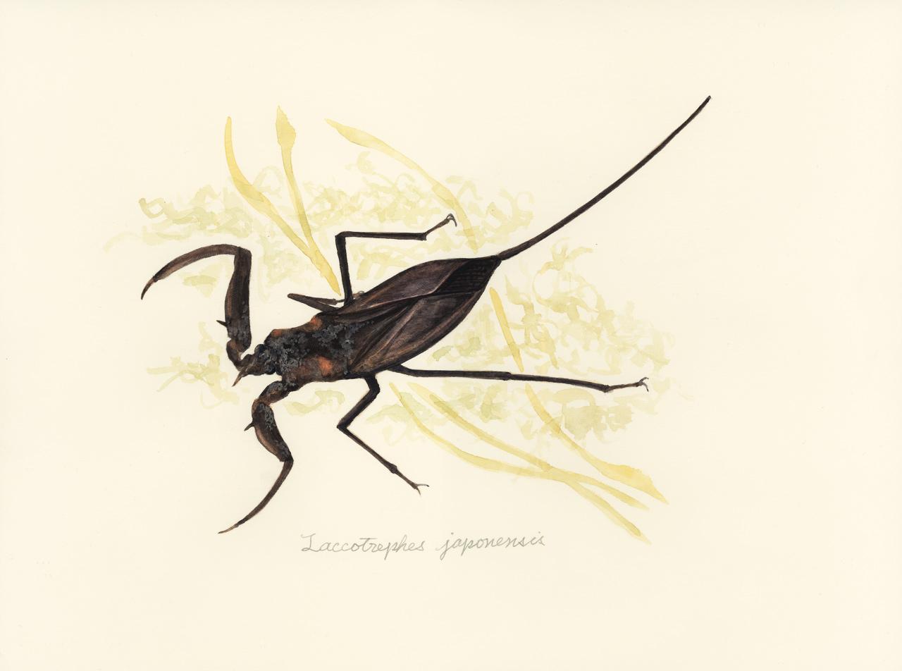 タイコウチ Laccotrephes japonesis