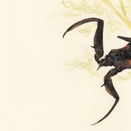虫の譜|タイコウチ Laccotrephes japonensis