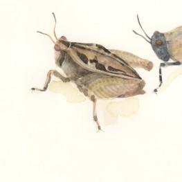 虫の譜|ハラヒシバッタ Tetrix japonica