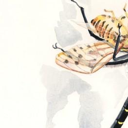 虫の譜|コオニヤンマ Sieboldius albardae