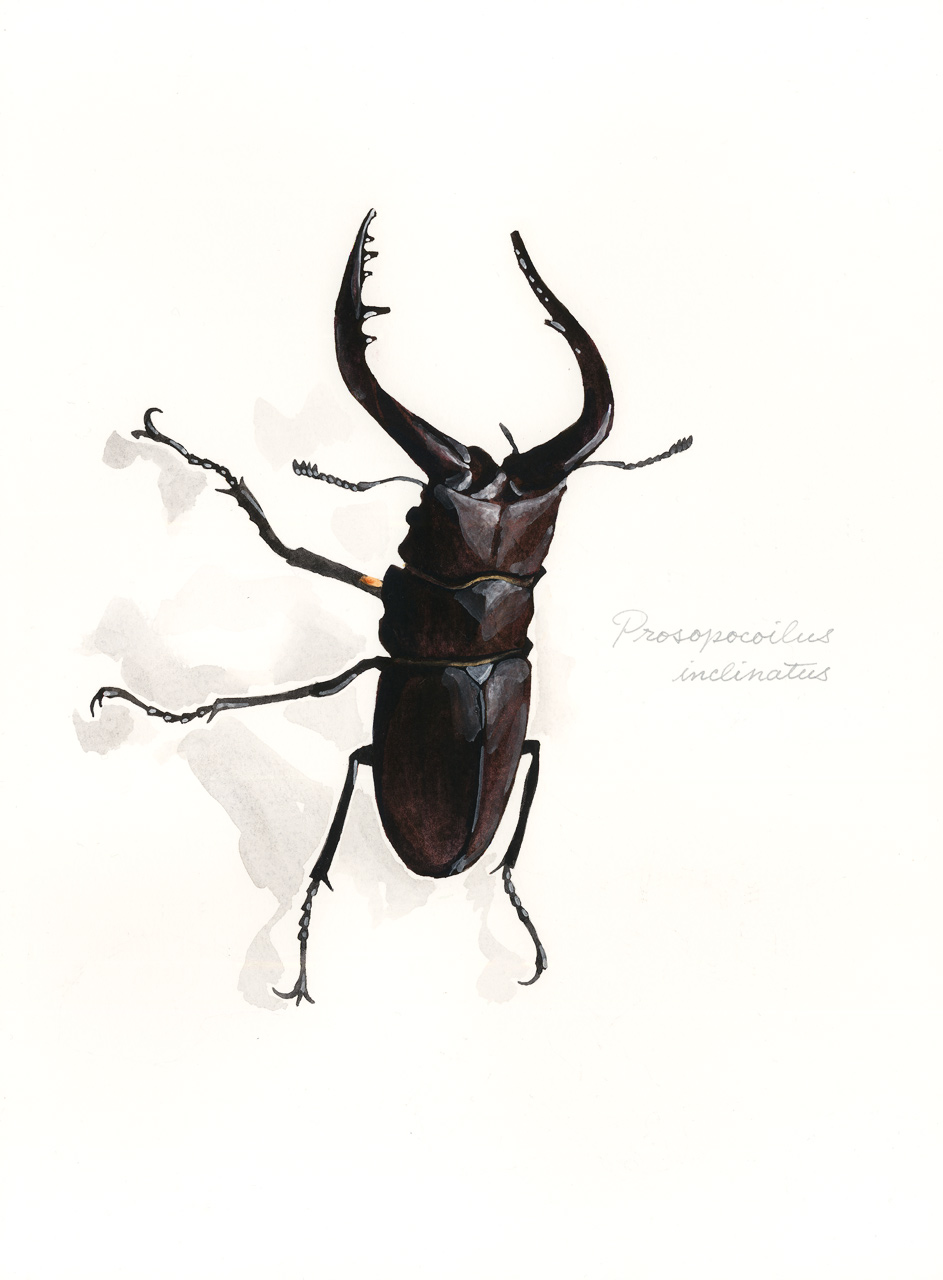Prosopocoilus_inclinatus