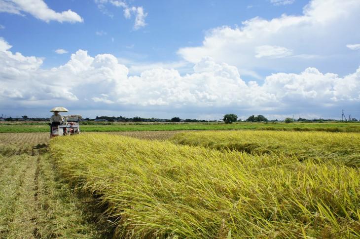 稲刈り遠景 2105-1