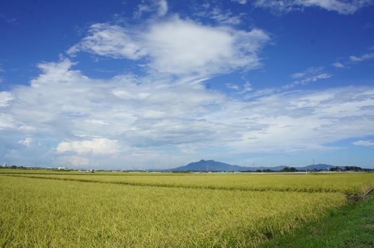 稲刈り 2388