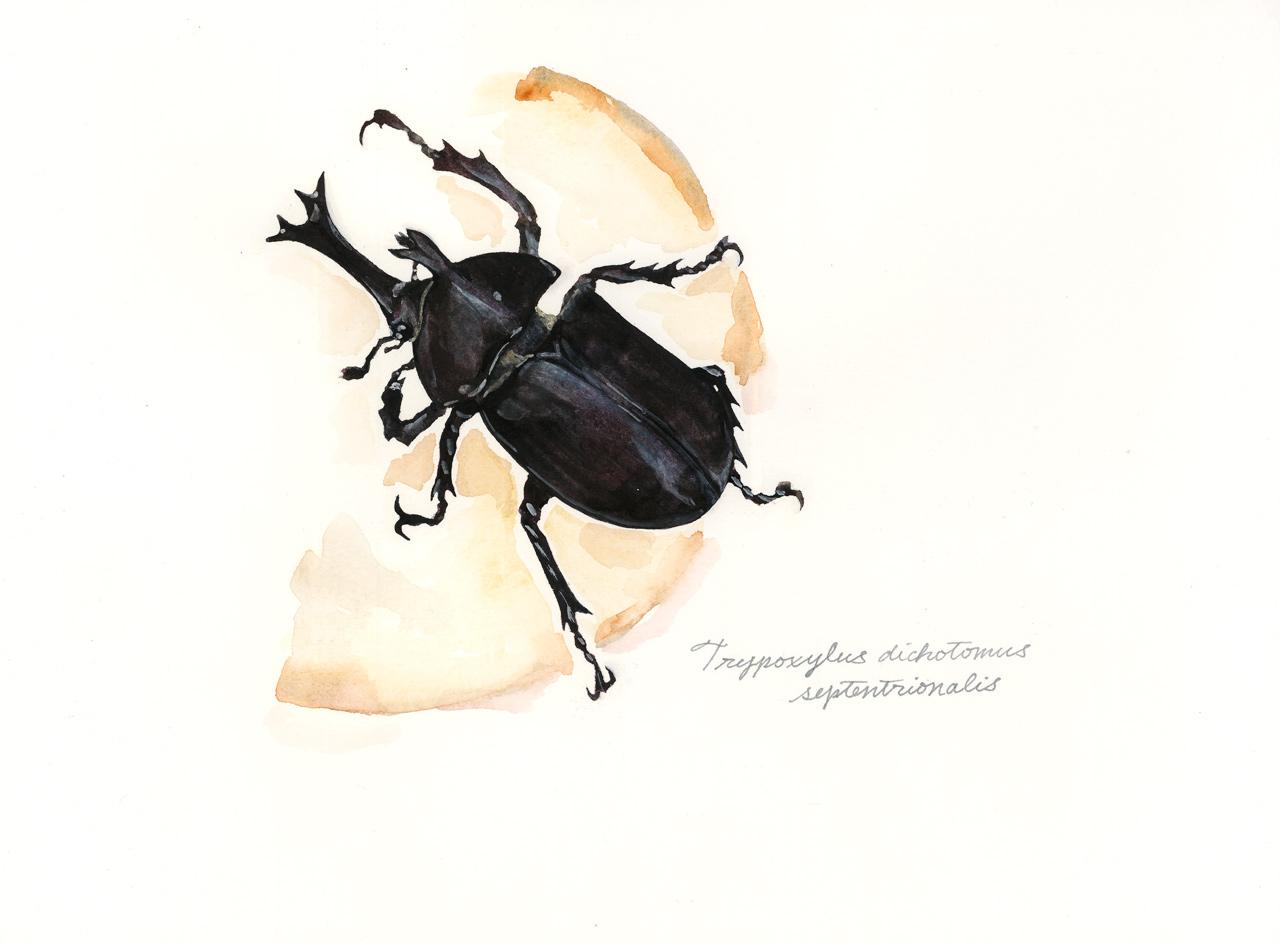 Trypoxylus_dichotomus_septentrionalis