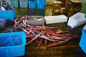 松園水産さんでの定置網漁。その場でさばきます。この日はアカヤガラが大漁!